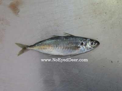 Decapterus macarellus - Mackerel Scad