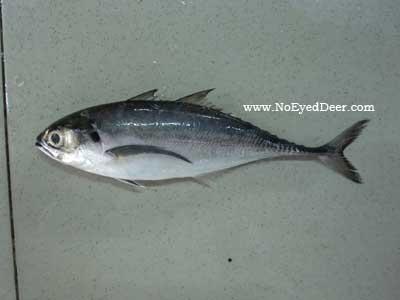 Megalaspis cordyla - Torpedo Scad