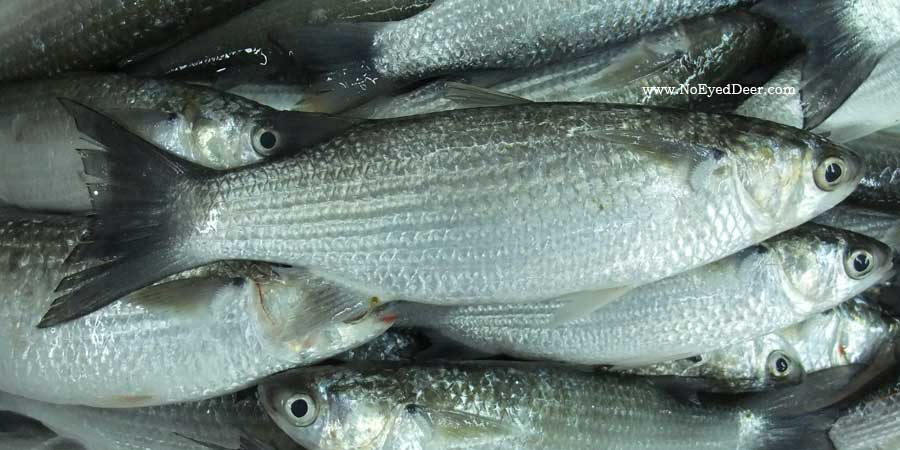 Flathead grey mullet mugil cephalus for Pictures of mullet fish