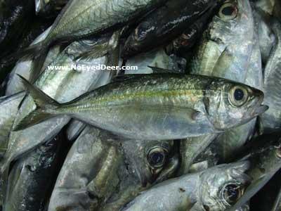Selar crumenophthalmus - Bigeye Scad